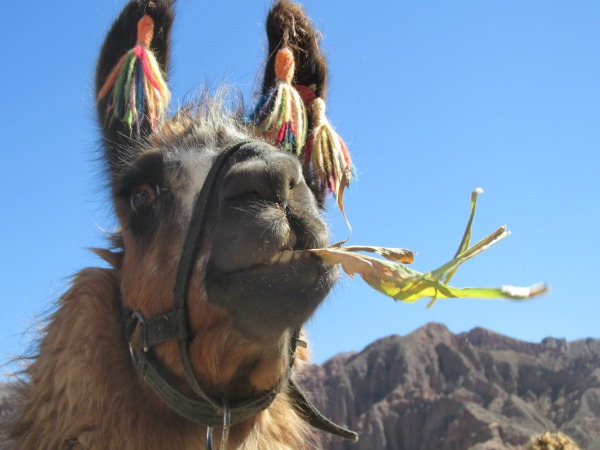 Llama chewing in Argentina