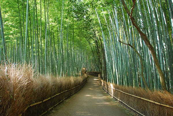 Landscape view of the bamboo forest in Kyoto, Japan