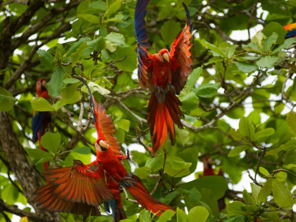 Scarlet macaws in the trees