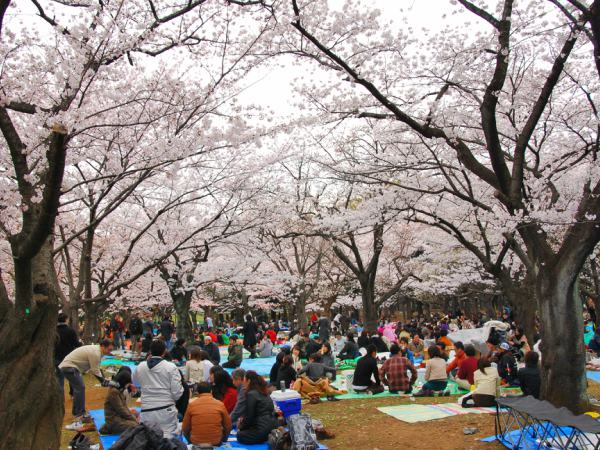 A park in Tokyo in cherry blossom season