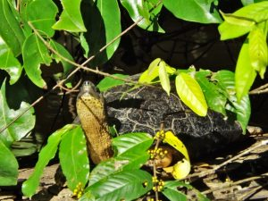 Turtle in the trees of Tortugero