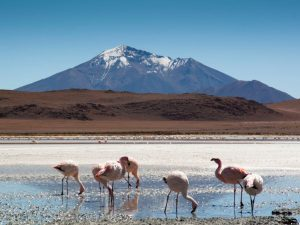 flamingos beside a lake on the altiplano