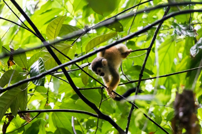 monkey in corcovado national park costa rica