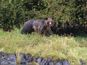 grizzly bear in tofino canada