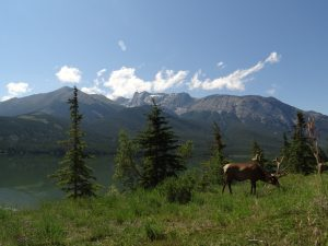 Elk munching on grass with mountain backdrop