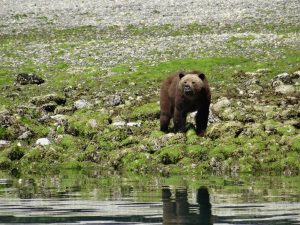 Grizzly Bear at Telepgraph Cove