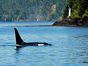 Whale in the sea at Telegraph Cove