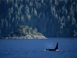Whale in Vancouver Island
