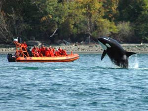 Whale breaching in water near whale watchers in a zodiac boat