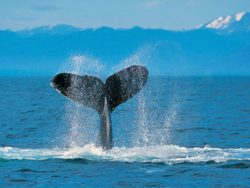 Whale Tail in Victoria