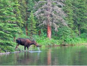 Moose drinking water out of the lake