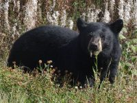 black bear in canada