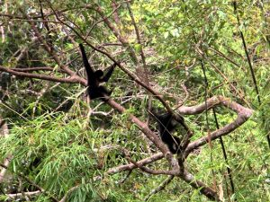 Gibbons in Cat Tien