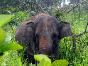 Wild elephant in Minneriya National Park in Sri Lanka