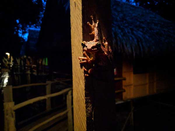 A frog in the Amazon rainforest