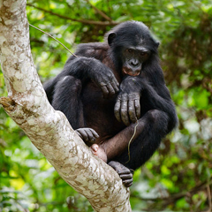 Bonobo monkey looking down from a tree