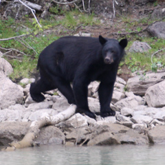 Canadian black bear by the river