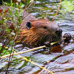 Canadian beaver eating in the water