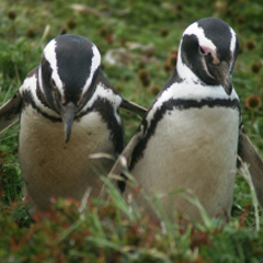 two penguins standing in a field
