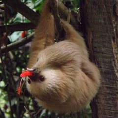 sloth hanging upside down from a tree
