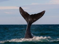 Blue whale tail out of the water