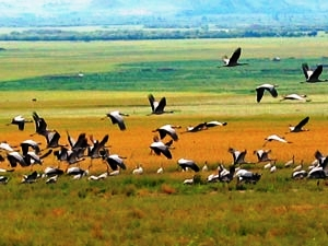 Black-necked cranes in colourful Phobjika Valley in Central Bhutan