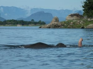 Elephant swimming in the lake in Gal Oya National Park, sri Lanka