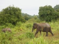 Elephant strolling in Yala National Park