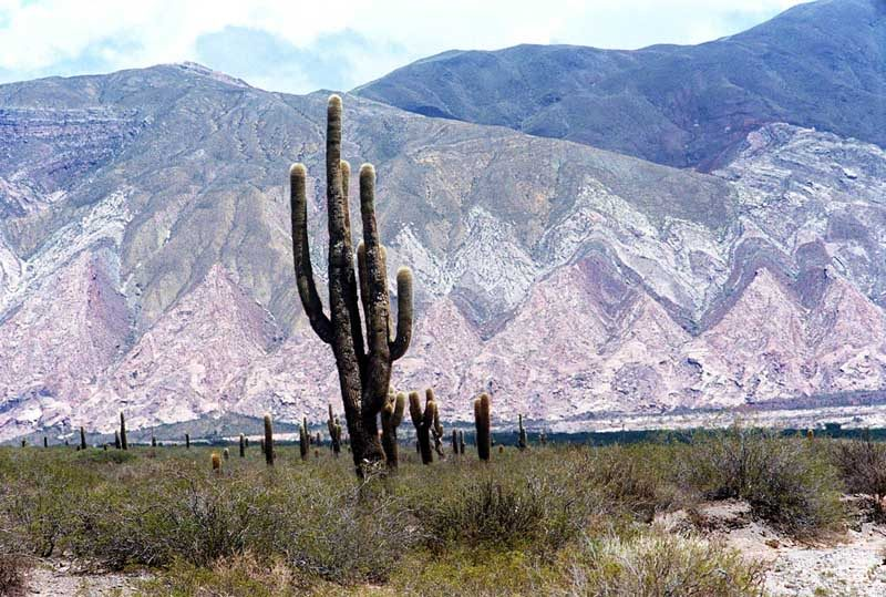 large cactus in mountain landscape