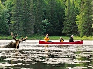 Canoe with 3 people on lake and moose coming out of the water