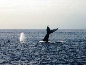 Whale tail popping out the sea