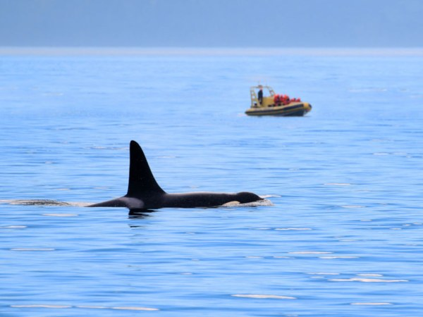 Killer whale fin with Zodiac Boat in background