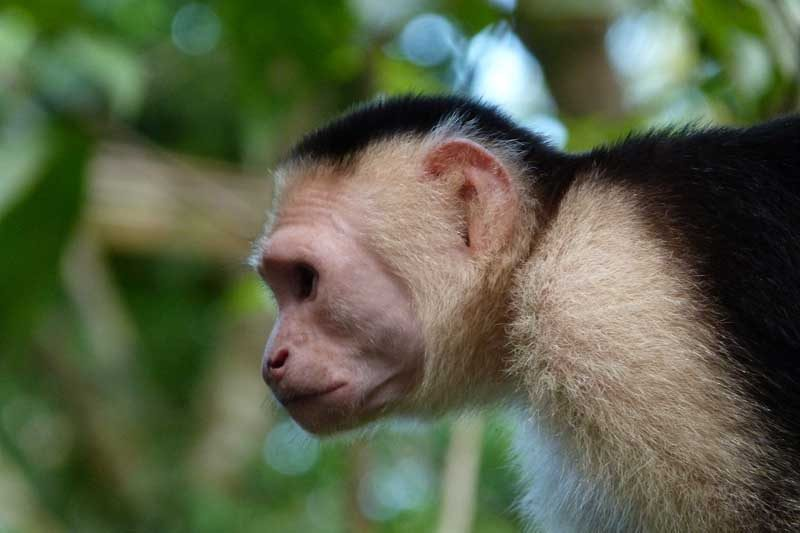 Close up of monkey looking left