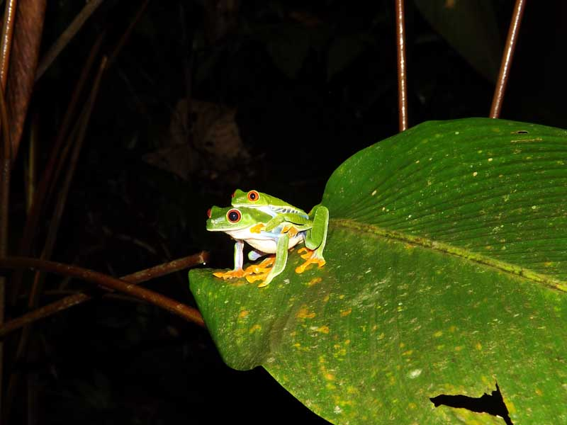 Two green frogs at night