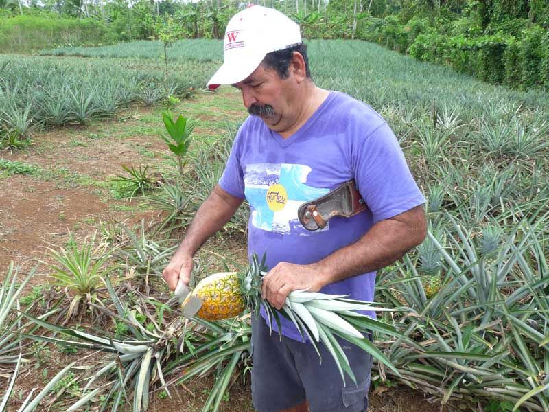 Local guide cutting up pineapple