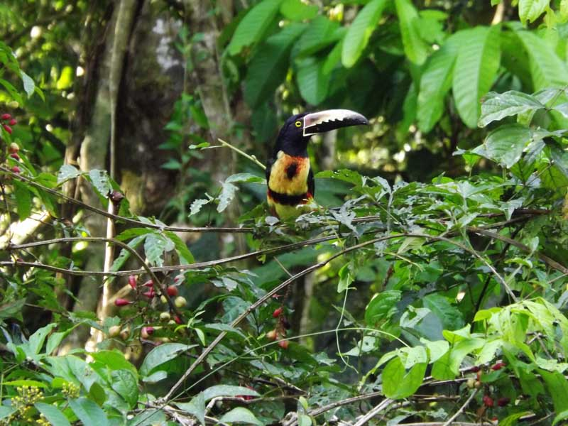 Toucan resting in tree tops