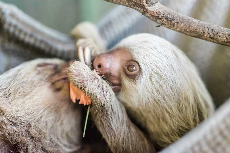 Close up picture of Sloth eating dinner