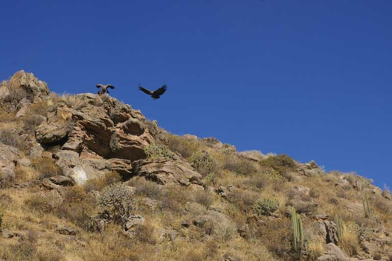 Condor over canyon