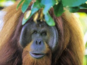semenggoh borneo orangutan jungle wildlife