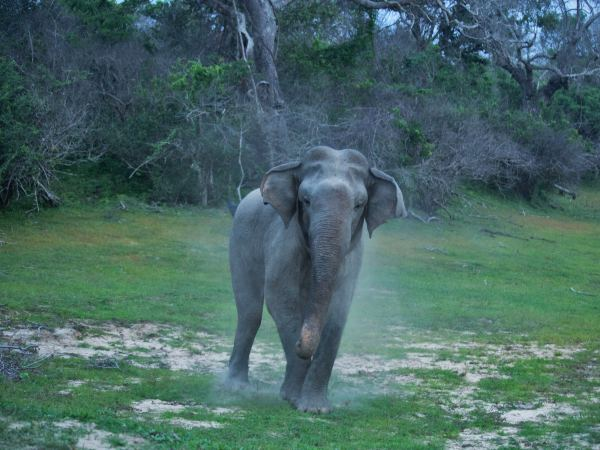 Wild elephant in Gal Oya National Park, Sri Lanka