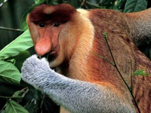 Proboscis Monkeys in Bako National Park