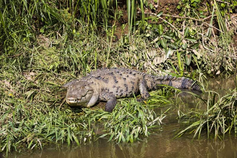 Crocodile in the river bank