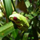 Red eyed frog perched on plant