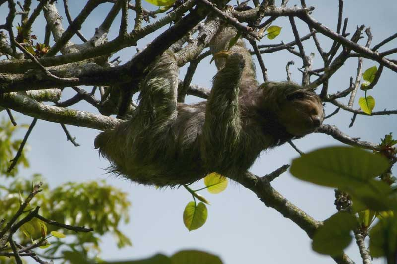 Sloth climbing through the trees