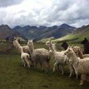 llamas on the mountain