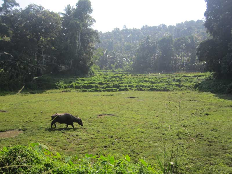 Buffalo in field with trees