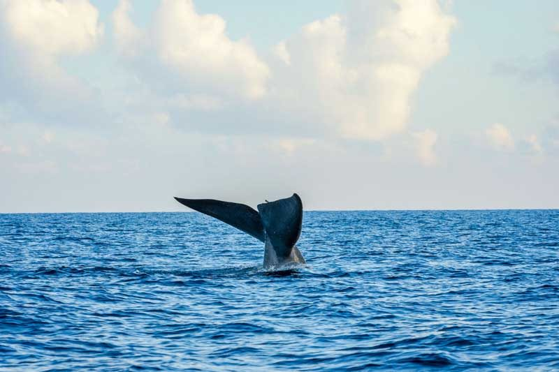 blue whale tail in the ocean, sri lanka