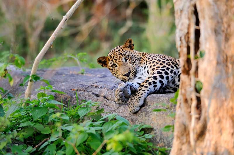 leopard in the wild on the island of sri lanka