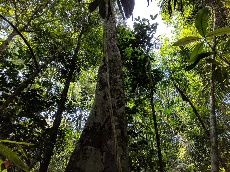 Huge tree in the amazon rainforest