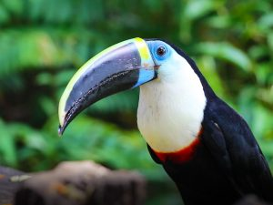 A Toucan in the Amazon Rainforest in Brazil